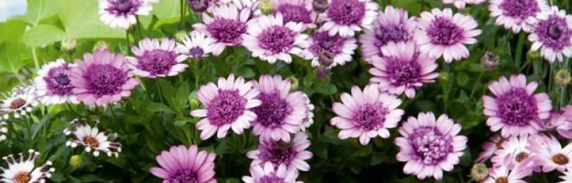 Остеоспермум: выращивание и уход за ним в домашних условиях
