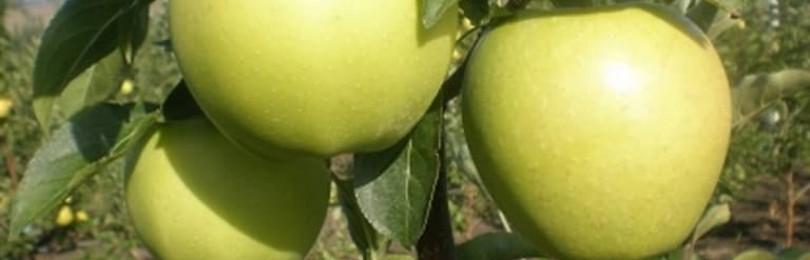 Зимние сорта яблонь для подмосковья, характерные особенности