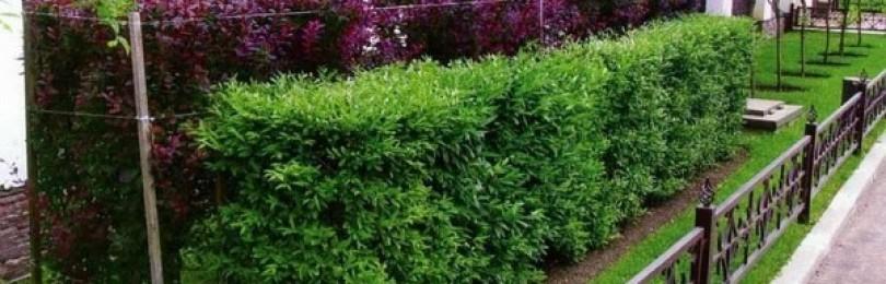 Живая изгородь: из чего лучше сделать