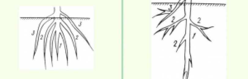 Корень. виды корней растений и их функции