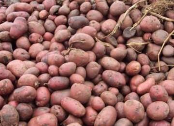 Как хранить картофель на балконе зимой?