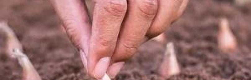 Чем обработать чеснок перед осенней посадкой: секреты хорошего урожая