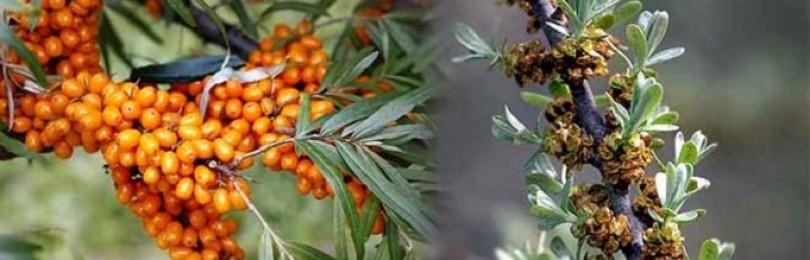 Знаете, что растения бывают мальчиками и девочками? – От правильного выбора мужских и женских особей зависит урожай