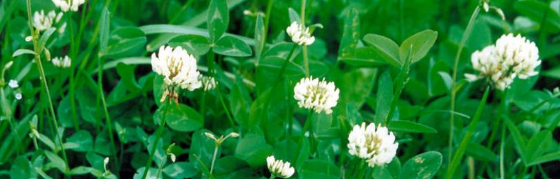 Почему белый клевер лучше, чем трава для газонов