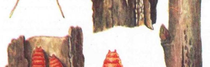 Галлица: вредитель малины и как с ней бороться