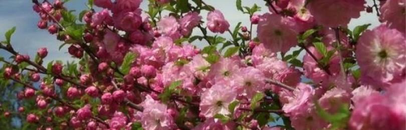Выращивание японской сакуры бонсай в домашних условиях