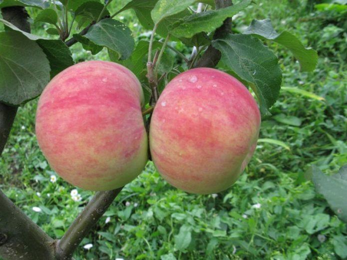 Яблоня. зимние сорта для выращивания в беларуси