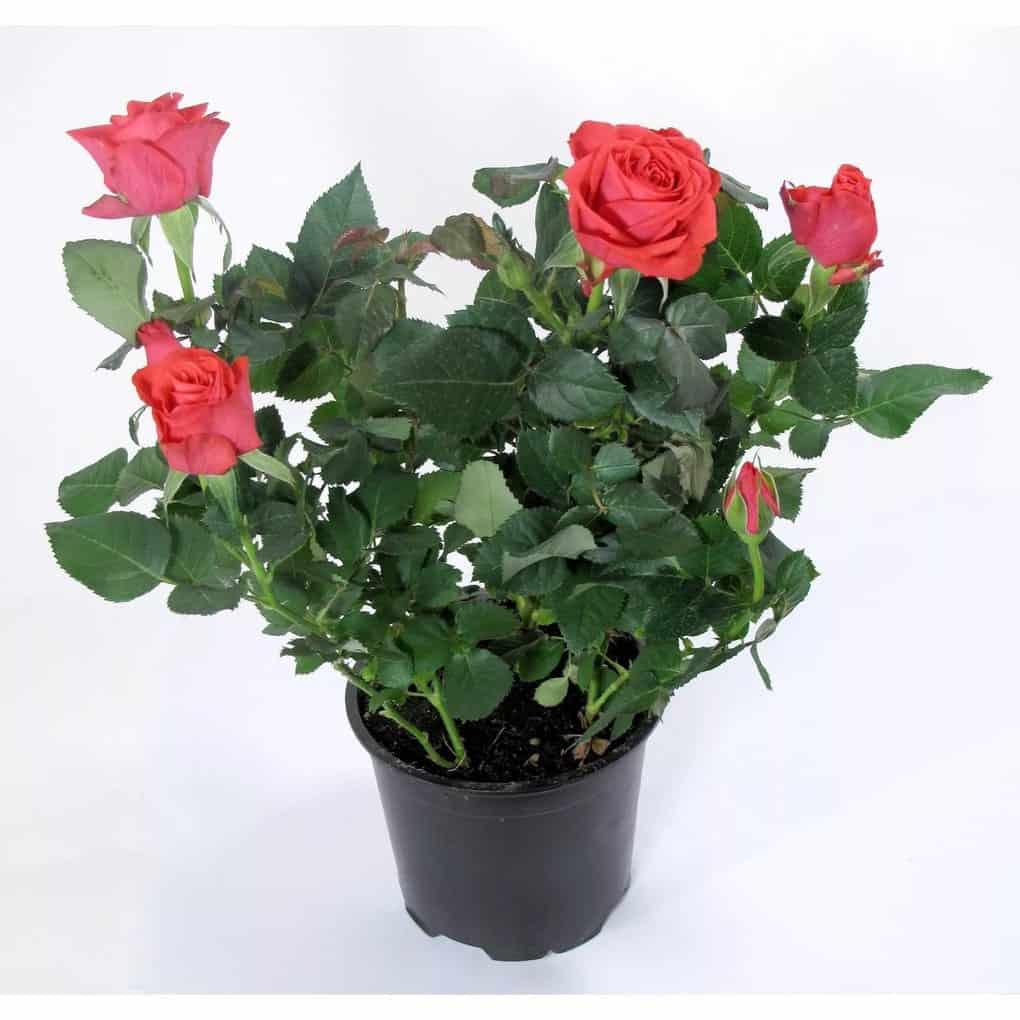 Цветок женское счастье - как ухаживать за цветком чтобы цвёл