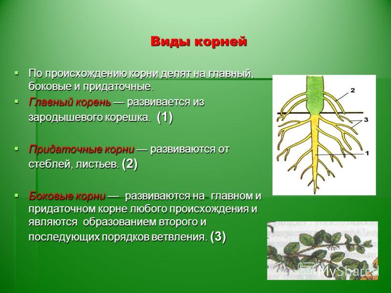 особенности строения корня