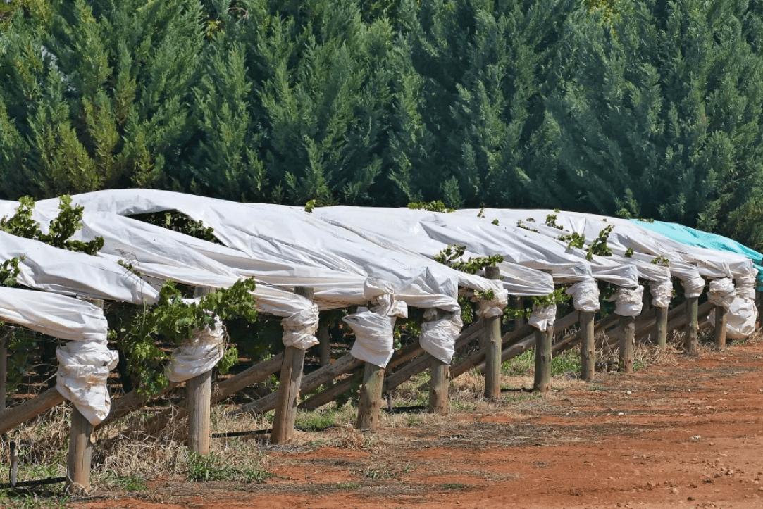 как укрыть виноград на зиму в средней
