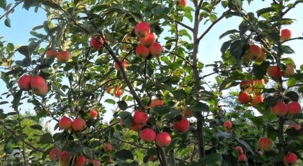 Яблоня яндыковская: описание, фото, отзывы, практическое руководство по выращиванию