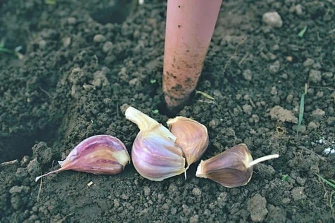 как правильно посадить чеснок осенью