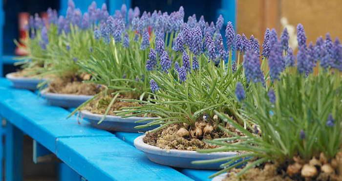 Мускари – посадка и уход, выращивание и сорта - цветочки - медиаплатформа миртесен