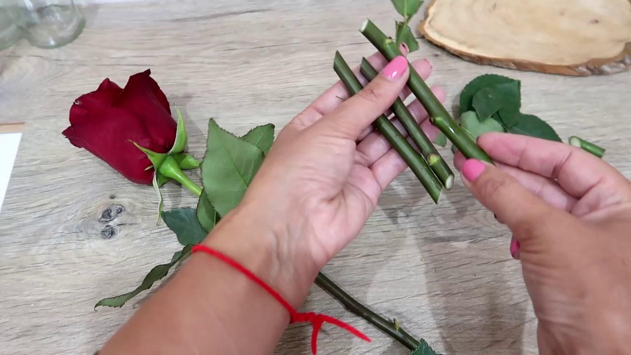 Как вырастить розу в картошке: способы выращивания и размножения