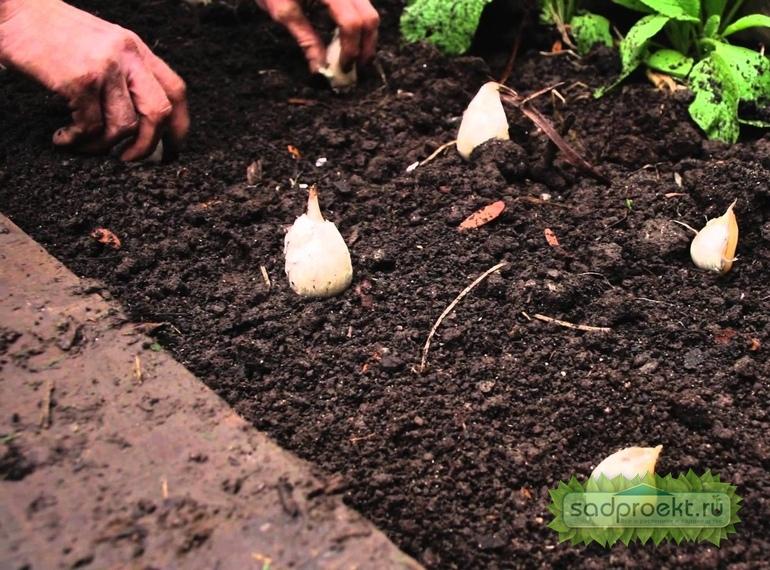 Как сажать чеснок под зиму и чтобы был крупный (фото, видео) – сад и огород своими руками
