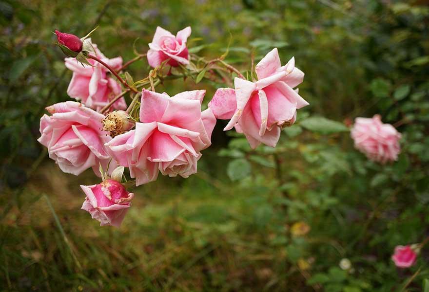 розы осенью уход и подготовка к зимнему