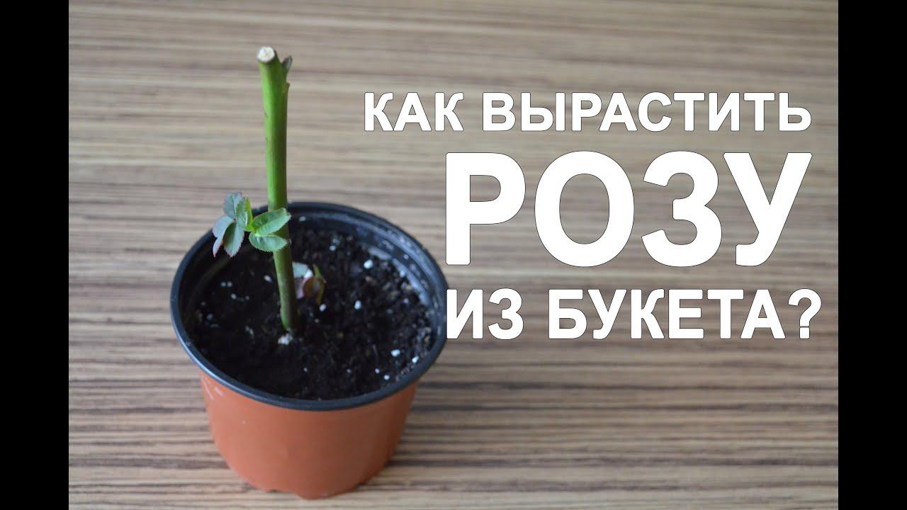 вырастить розу в картошке