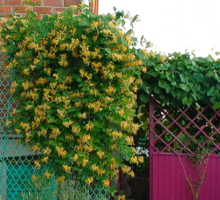 7 неприхотливых лиан, или мои самые неубиваемые комнатные растения. названия, описания, фото — ботаничка.ru