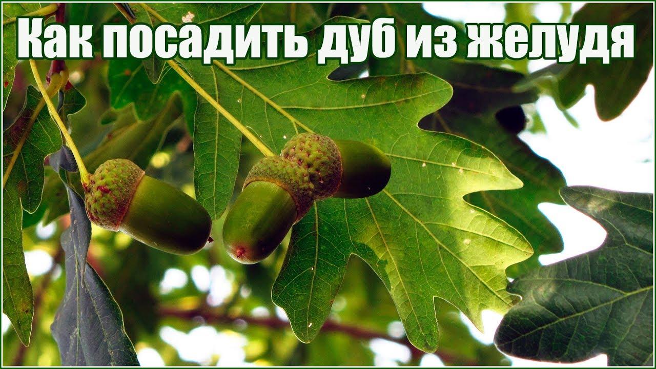Как из желудя вырастить дуб в домашних условиях. как вырастить дуб из желудя. | лайфхаки