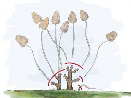 обрезка древовидной гортензии осенью