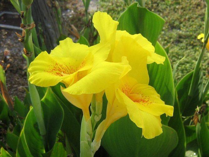 Канна (62 фото): что это за цветы? описание растений канна индийская и красная. нужно ли выкапывать канны в саду на зиму? выращивание в домашних условиях и в открытом грунте