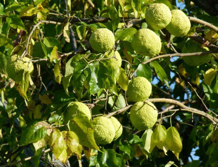 Адамово яблоко (маклюра): полезные свойства, область применения и способы приготовления