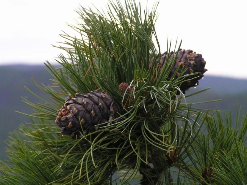 Сосна кедровая сибирская: фото дерева, посадка, уход за сибирским кедром, характеристики дерева
