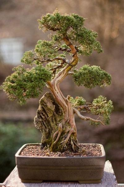 Как вырастить дерево бонсай: рекомендации по уходу за миниатюрной флорой