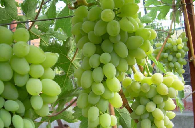 саженцы винограда красохиной