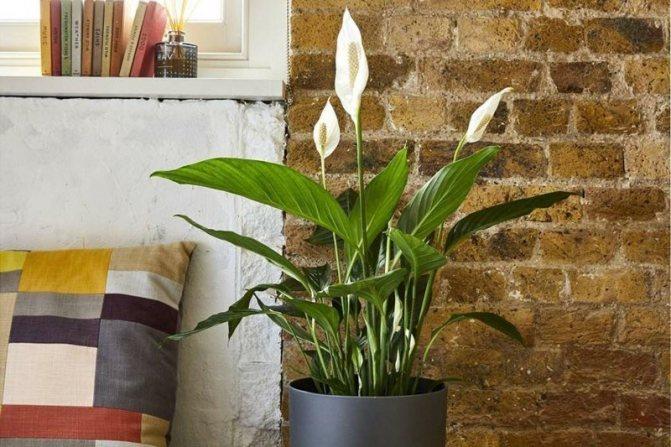 Комнатные растения, которые приносят счастье, любовь, удачу в дом