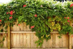 Лианы для сада: 120 фото видов и рекомендации по выбору сочетаний растений