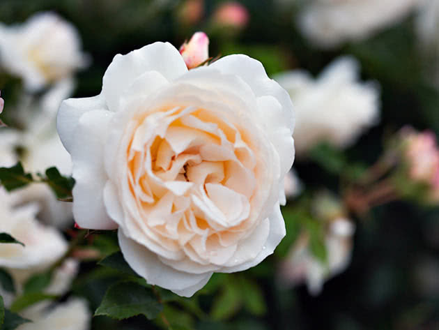 роза поэзия энциклопедия роз