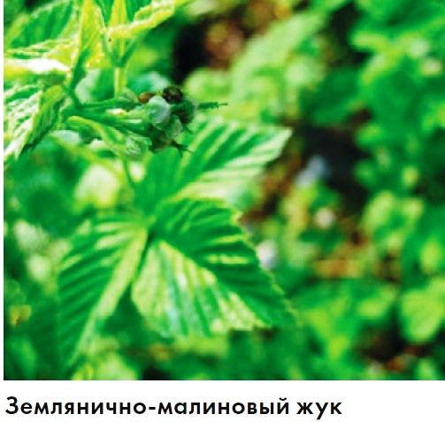 Распространенные заболевания малины: описание с фотографиями