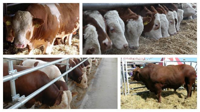 Породы быков: высокопродуктивные быки и их разведение в домашних условиях