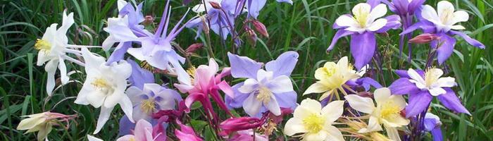 Аквилегия (водосбор, орлик): выбор сорта и выращивание в открытом грунте