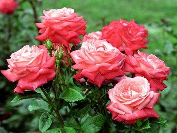 когда обрезать розы на зиму в средней