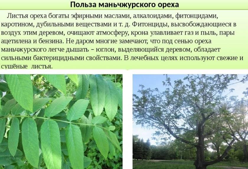 Орехи в сибири. маньчжурский орех - сад