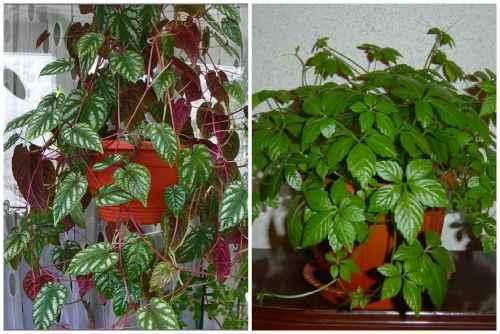 Вьюнок - фото цветка, описание видов растения, уход в домашних условиях, посадка и выращивание