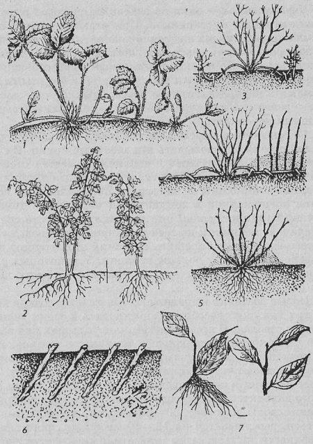 Основные способы и правила размножения чёрной смородины