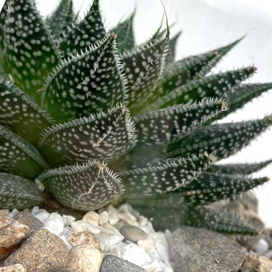 Топ 15 редких видов суккулентов с фото и названием. выбираем растение по душе!
