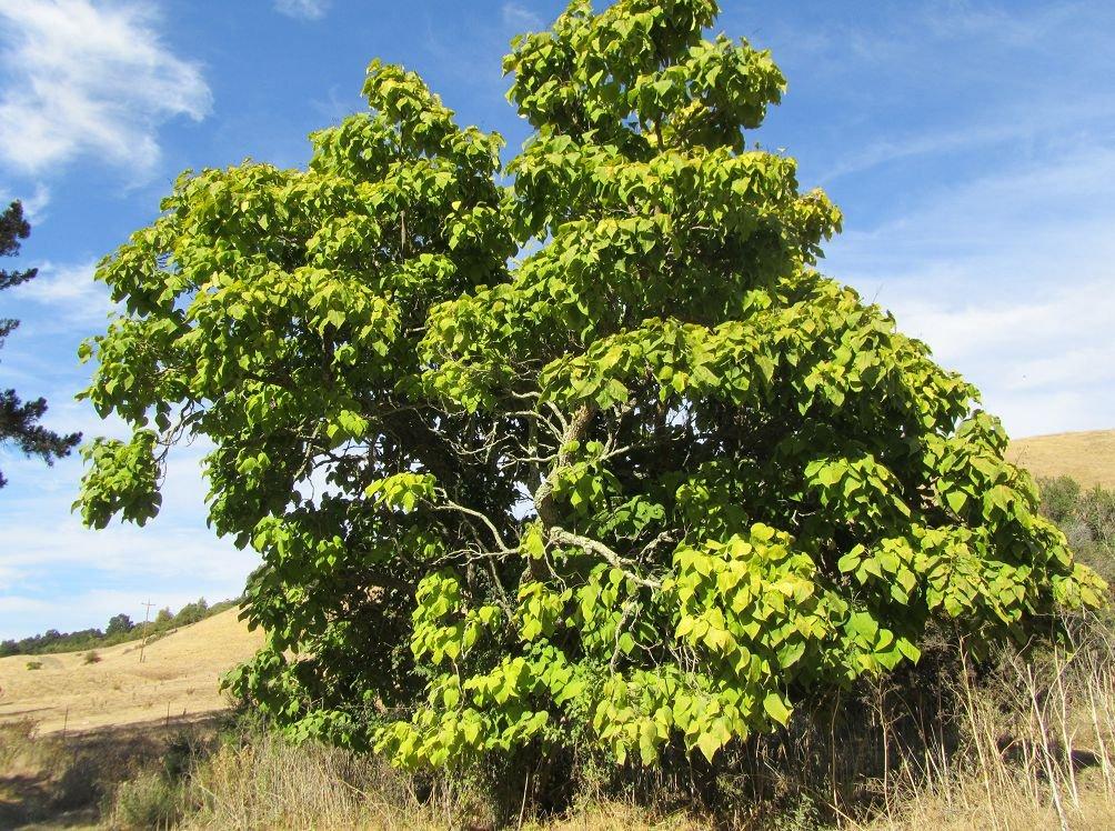 Экзотическое дерево катальпа: посадка и уход