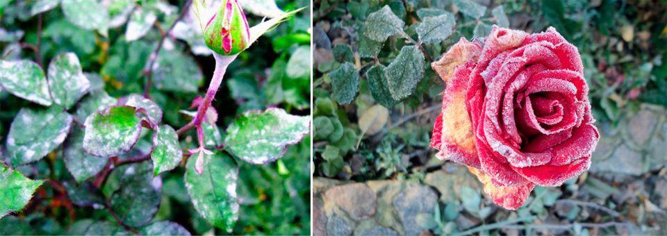 Как обработать розы железным купоросом осенью - всё о цветах