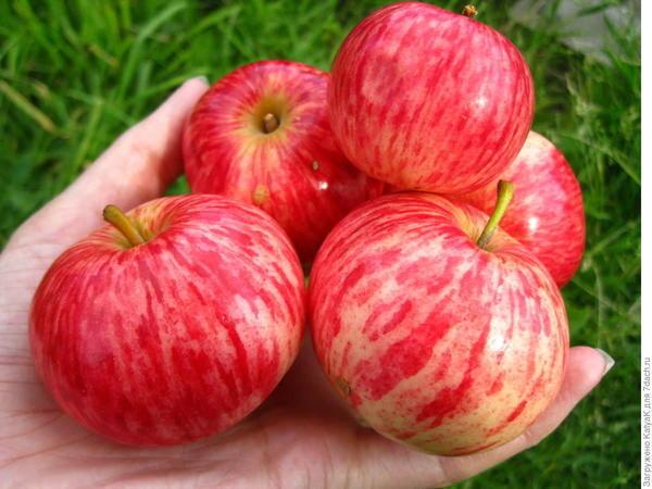 Яблоня аркад: особенности сорта и ухода