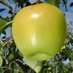 Яблоня рояль ред делишес описание фото