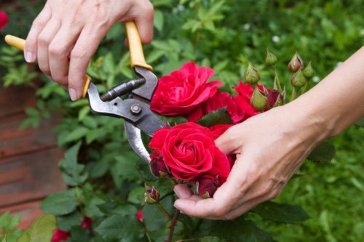 когда можно обрезать розы осенью