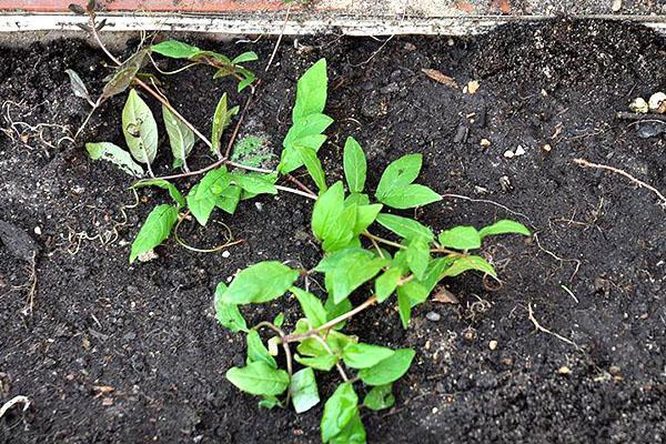 Кобея лазающая выращивание из семян в домашних условиях, открытом грунте