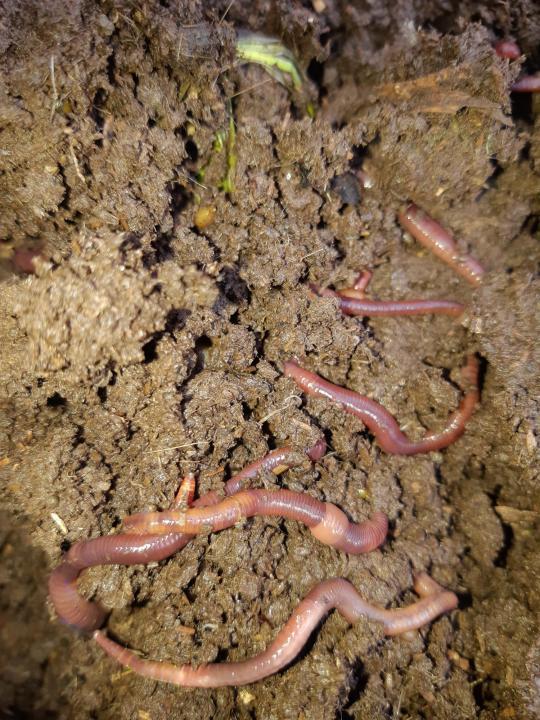 Купить дождевых червей старатель для производства биогумуса | ворми ферма
