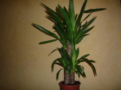 Как ухаживать за цветком юкка садовая, как заставить хорошо расти и регулярно цвести цветок счастья, проблемы выращивания садовой пальмы, виды цветка с фото и видео