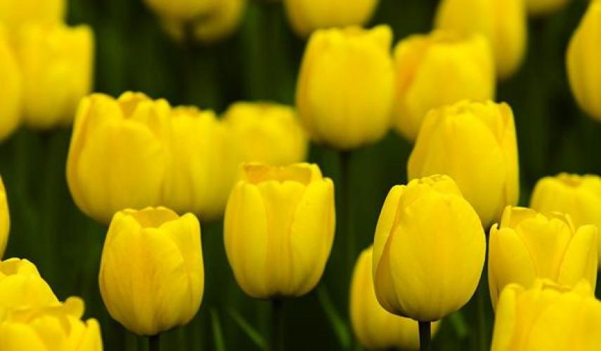 Тюльпаны. выращивание от а до я. посадка, подкормка, размножение, обрезка. фото — ботаничка.ru