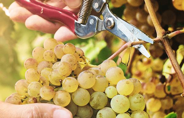 сколько нужно винограда на 1 литр вина